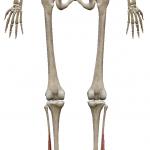 長拇趾屈筋:ちょうぼしくっきん