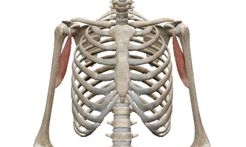 烏口腕筋 | 筋肉のハナシ