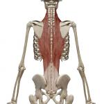 脊柱起立筋:せきちゅうきりつきん
