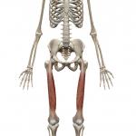 大腿直筋:だいたいちょっきん