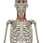 胸鎖乳突筋:きょうさにゅうとつきん