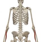 尺側手根伸筋:しゃくそくしゅこんしんきん