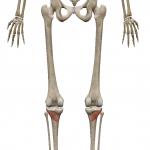膝窩筋:しっかきん