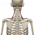 肩甲挙筋:けんこうきょきん