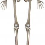 長拇趾伸筋:ちょうぼししんきん