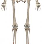 短腓骨筋:たんひこつきん