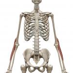 腕橈骨筋:わんとうこつきん