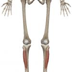前脛骨筋:ぜんけいこつきん