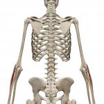 長橈側手根伸筋:ちょうとうそくしゅこんしんきん