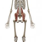 腸腰筋:ちょうようきん