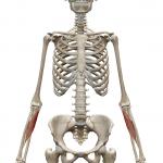 橈側手根屈筋:とうそくしゅこんくっきん