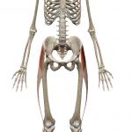 大腿筋膜張筋(腸脛靭帯):だいたいきんまくちょうきん(ちょうけいじんたい)