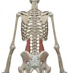 腰方形筋:ようほうけいきん