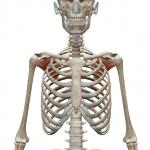 肩甲下筋:けんこうかきん