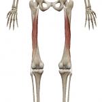 大腿二頭筋:だいたいにとうきん