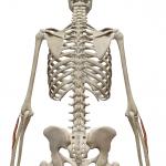 短橈側手根伸筋:たんとうそくしゅこんしんきん