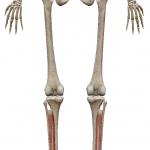後脛骨筋:こうけいこつきん