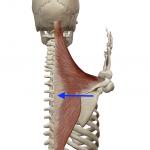 肩甲骨の内転(胸を張る動き)