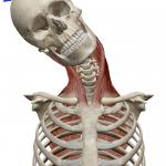 首の側屈(横へ倒す動き)