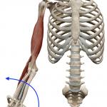 前腕の回外(下向きの手のひらを上へ向ける動き)