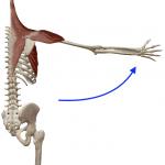 肩の外転(腕を背骨から遠ざける動き)