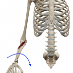 前腕の回内(上向きの手のひらを下へ向ける動き)