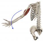 肘の伸展(肘を伸ばす動き)