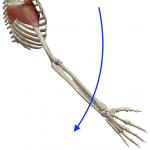 肩の水平外転(横に上げた腕を後ろへ引く動き)
