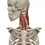 首の回旋(横へ回す動き)