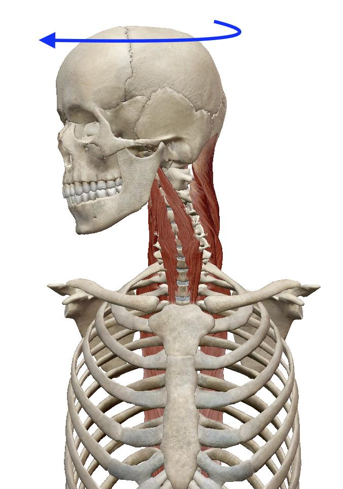 首の回旋(横へ回す動き) | 筋肉のハナシ