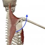 肩甲骨の上方回旋(バンザイする動き)