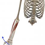 手首の外転(橈屈:手首を親指方向に倒す動き)