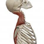 首の伸展(後ろへ倒す動き)