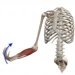 手首の屈曲(手首を手の平方向に曲げる動き)