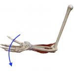 手首の伸展(手首を甲側に倒す動き)
