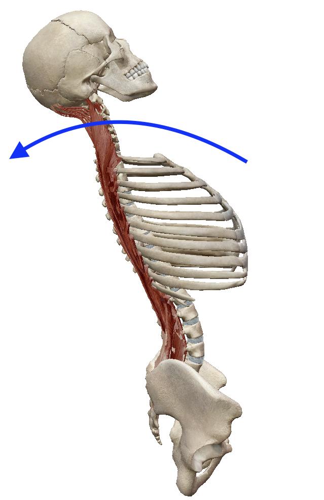 「脊椎 伸展 解剖」の画像検索結果