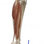 足首の底屈(つま先を下げる動き)