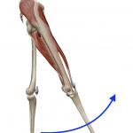 股関節の屈曲(足を前へ上げる動き)