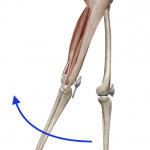 股関節の伸展(足を後ろへ引く動き)