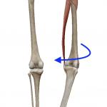 股関節の外旋(足を外へ回す動き)