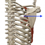 肩甲骨の外転(猫背になる動き)