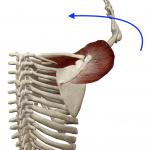 肩の水平内転(横に上げた腕を前へ回す動き)