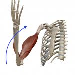 肘の屈曲(肘を曲げる動き)