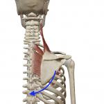 肩甲骨の下方回旋(両肘を背中で近づける動き)