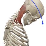 首の屈曲(前へ倒す動き)