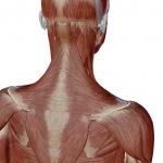 肩(肩甲骨)の筋層