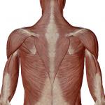 背中の筋層