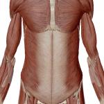 お腹の筋層
